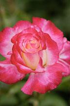 Rose 'double delight'. Rosa - Photo #4274