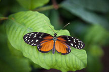 Tiger longwing resting on leaf. - Photo #32375