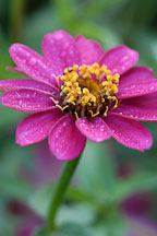Zinnia elegans, 'Profusion Cherry'. - Photo #2075