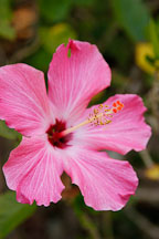 Pink Hibiscus. Amazon, Peru. - Photo #8876