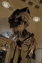 Tyrannosaurus rex. Field Museum, Chicago, Illinois, USA. - Photo #10577