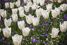 White tulips at Filoli Gardens. - Photo #24577