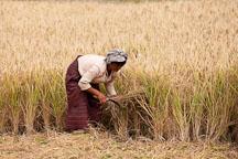 Women cutting a sheaf of rice. Sopsokha, Bhutan. - Photo #23577