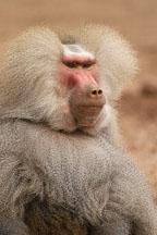 Hamadryas baboon, Papio hamadryas. - Photo #5379