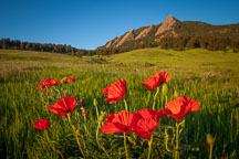 Poppies in Chautauqua Park. Boulder, Colorado. - Photo #33179