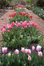 Tulip 'Gabriele', Tulipa. - Photo #2979