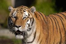 Siberian tiger. Panthera tigris altaica. - Photo #2479