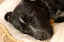 Chiqui sleeps on her bed. She is a mixed dog with Labrador retriever and American Pit Bull Terrier ancestry. - Photo #6100