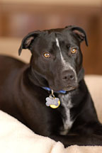 Chiqui, a mixed dog with Labrador retriever and American Pit Bull Terrier ancestry. - Photo #6088
