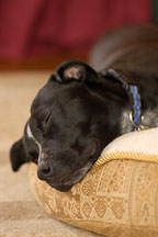 Chiqui sleeps on her bed. She is a mixed dog with Labrador retriever and American Pit Bull Terrier ancestry. - Photo #6111