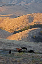 Free ranging cattle at sunset. Mission Peak, Fremont, California, USA. - Photo #6321