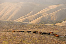 Free ranging cows traveling throught the hills at Mission Peak. Fremont, California, USA. - Photo #6316