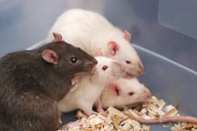 A brown self rat with several Himalayans. The Wonderful World of Rats, San Mateo, California, USA. - Photo #6057