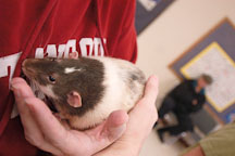A male rat being held. The Wonderful World of Rats, San Mateo, California, USA. - Photo #6024