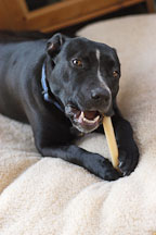 Chiqui, a mixed dog with Labrador retriever and American Pit Bull Terrier ancestry, uses a chew toy. - Photo #6120