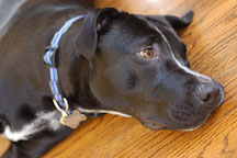 Chiqui, a mixed dog with Labrador retriever and American Pit Bull Terrier ancestry. - Photo #6119