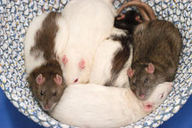 A basket of rats. The Wonderful World of Rats, San Mateo, California, USA. - Photo #6066