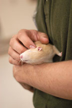 Volunteer Justin Harvey scratches a pet rat behind the ears. The Wonderful World of Rats, San Mateo, California, USA. - Photo #6032