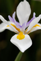 Iris. - Photo #6158