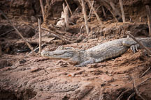 White caiman resting on the banks of the Madre de Dios river. Amazon, Peru. - Photo #9008