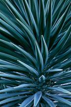 Mojave Yucca. Yucca schidgera. - Photo #80