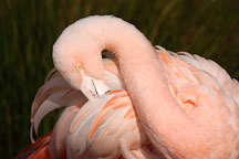Pink flamingo. Chilean Flamingo, Phoenicopterus chilensis. - Photo #2481
