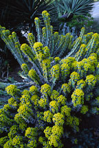 Euphorbia coerulescens. - Photo #2881