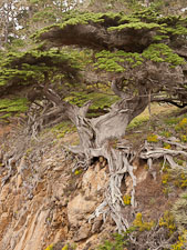 Old Veteran Cypress, Point Lobos State Reserve. - Photo #26981