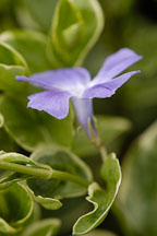 Pictures of Vinca major, Greater periwinkle