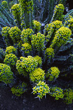 Euphorbia coerulescens. - Photo #2882