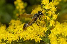 Spider wasp. - Photo #4482