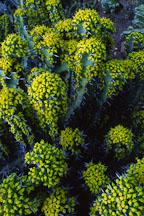 Euphorbia coerulescens. - Photo #2883
