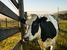 Holstein cow at Historic E Ranch. - Photo #25583