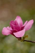 Magnolia x 'Vulcan'. - Photo #11884