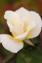 Rose, Dairy Maid. - Photo #5984