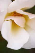 Rose, Dairy Maid. - Photo #5985