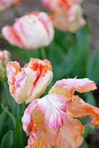 Tulip, Apricot Parrot. - Photo #11985