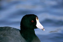 American coot, Fulica americana. Palo Alto Baylands. - Photo #786