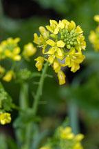 Broccoli raab, Brassica rapa. - Photo #2386