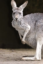 Kangaroo. - Photo #1586