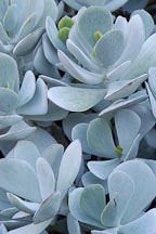 Succulent at Stanford Cactus Garden. - Photo #5187