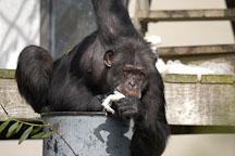 Chimpanzee, Pan troglodytes. - Photo #2488