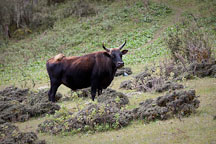 Cow and dwarf bamboo. Phobjikha Valley, Bhutan. - Photo #23788