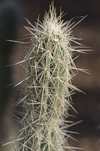Opuntia bradtiana. - Photo #5288