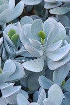 Succulent at Stanford Cactus Garden. - Photo #5188