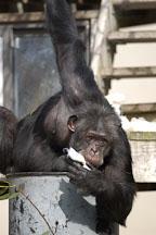 Chimpanzee, Pan troglodytes. - Photo #2489