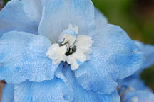Giant pacific delphinium, 'Summer skies'. - Photo #3289