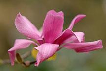 Magnolia x 'Vulcan'. - Photo #11889