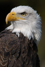 Bald eagle, Haliaeetus leucocephalus. - Photo #2509