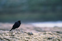 Brewer's blackbird, Euphagus cyanocephalus. Natural Bridges State Beach, California, USA. - Photo #909